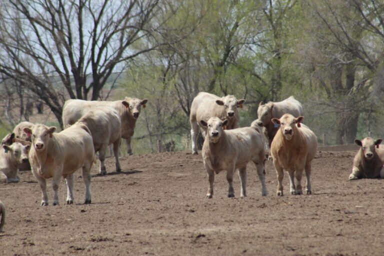 A Group of White Cattle