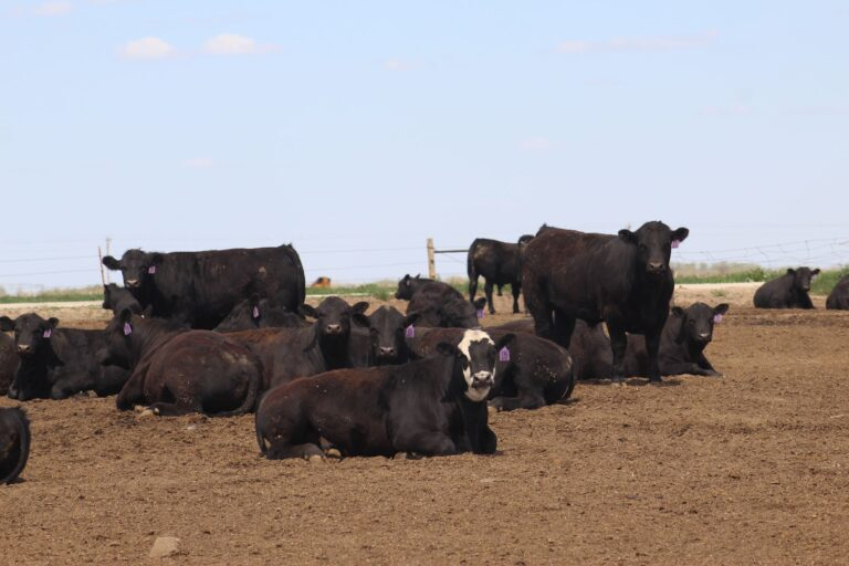 A Group of Black Cattle